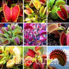 Free Shipping 400pcs Dionaea Muscipula Giant Clip Venus Flytrap Seeds China Rare Garden Plant,#W6JMO5