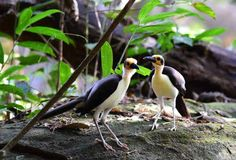 Yellow-headed Picathartes - these birds mate for life.