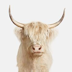Highland Cow No. 1 - Kingdom by Randal Ford
