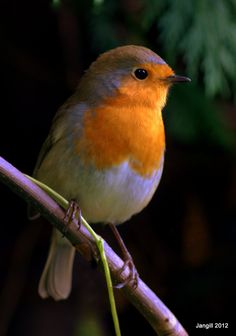 Jangill Designs: Blogging, Birds and Buzzing Brains Kinds Of Birds, All Birds, Little Birds, Love Birds, Beautiful Birds, European Robin, Robin Redbreast, Robin Bird, Wrens