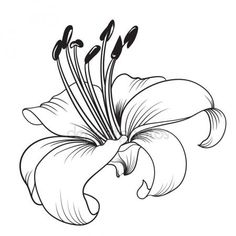 White lily vector image on VectorStock Realistic Flower Drawing, Simple Flower Drawing, Easy Flower Drawings, Beautiful Flower Drawings, Flower Sketches, Floral Drawing, Colorful Drawings, Flower Art, Art Drawings