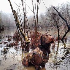 hunting dog.  #hunting #dog #1816 #remington