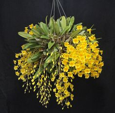 orchids and dandelions Exotic Plants, Exotic Flowers, Orange Flowers, Tropical Flowers, Amazing Flowers, Beautiful Flowers, Blooming Orchid, Orquideas Cymbidium, Plante Carnivore