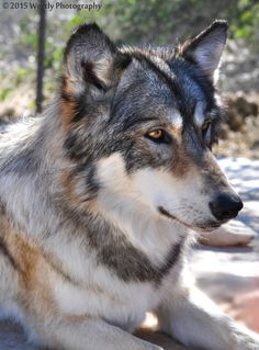 interactive Wolf Educational Tours - Wolf Mountain Sanctuary