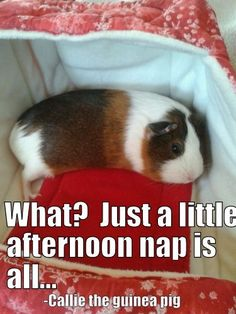 Adorable guinea pig taking her afternoon nap!  Click http://smallpetselect.com/timothy-hay-for-guinea-pigs to spoil your piggies with the best timothy hay delivered FRESH to your door! And Be sure to use coupon code ★Pinterest★ for FREE SHIPPING!