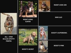 HUGE 100 POUND XXL LARGE MALE PITBULLS BULLY XTREME Most Beautiful Dogs, Bullying, Pitbulls, Animals, Dogs, Animales, Animaux, Pit Bull, Animais