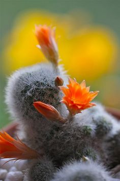 Rebutia Cactus - Flickr - Photo Sharing!