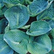 Hosta 'Big Daddy'. Click image to learn more, add to your lists & get care reminders.    Other names: Hosta 'Big Daddy'    Genus: Hosta    Variety or cultivar: 'Big Daddy' _ 'Big Daddy' is a clump-forming perennial with broad, heart-shaped, puckered leaves, and greyish-white flower spikes in summer.