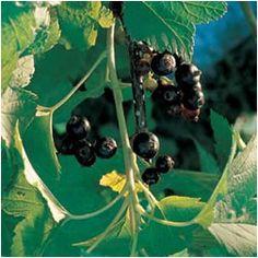 Ribes nero