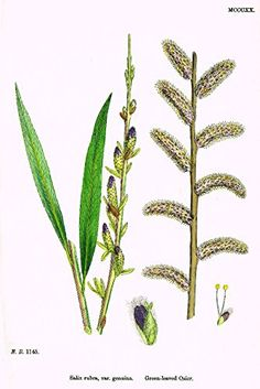 """Sowerby's English Botany - """"GREEN LEAVED OSIER"""" - Hand-Colored Litho - 1873"""