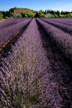 Lavender Field Provence France Photograph