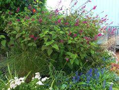 Salvia pulchella x involucrata   by anniesannuals