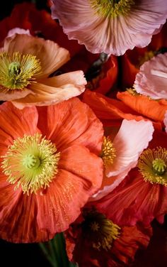 'reds' Coquelicot was originally a French vernacular term for Wild Corn Poppy (Papaver rhoeas). Amazing Flowers, My Flower, Beautiful Flowers, Poppy Flowers, Beautiful Gorgeous, Colorful Flowers, Icelandic Poppies, Fleur Orange, Hummingbirds