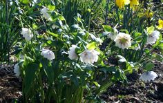 Hellebore provide contrast in the Spring days. Subtle against the brighter blooms.