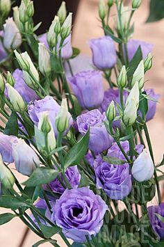 Lavender lisianthus, native of American prairies teer en fragiel uiterlijk maar is een rauwdouwer bloeit in de woestijn sterke bloem