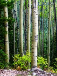 ~~Aspen of the San Juan National Forest by Guy Schmickle~~