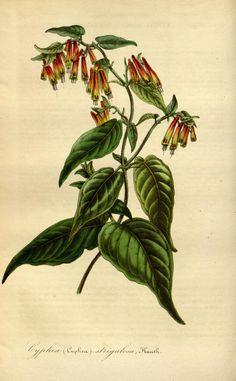 """Cyphea (Cuphea) strigulosa, Kunth. -- """"Flore des serres et des jardins de l'Europe"""" v.1 (1845), ed. by Louis van Houtte"""