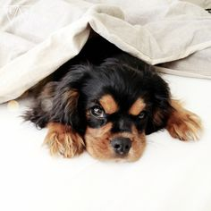 I would so love to find this little Cavalier King Charles Spaniel in MY bed one morning---the sooner, the better!