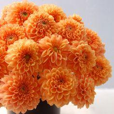 flowers in season by month- january: dahlias & rununculus!!