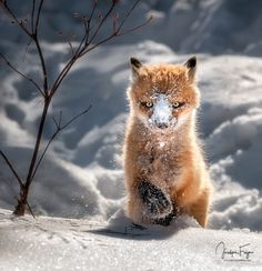 Red Fox Cub by Jocelyne Feizo on 500px