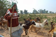 #goatvet likes this photo of goats in India- love the long ears