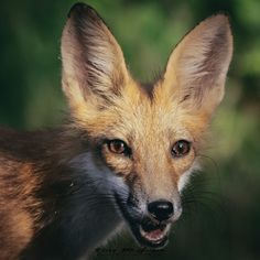 Red Fox by Kelly McGregor on Fox Face, Silver Foxes, Animal Totems, Red Fox, Animals Beautiful, Lisy, Wolf, Kisses, Photography