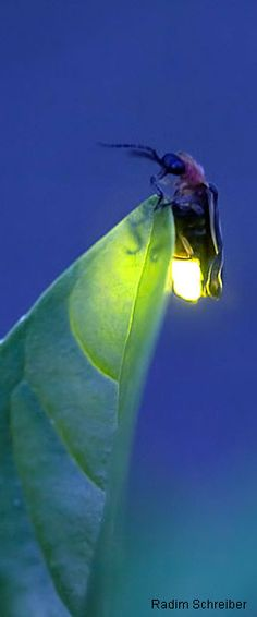 The firefly, a.k.a. lightening bug! Fantastic photo!