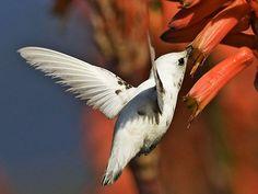 Daughter Of The Golden West: The Rarest Hummingbird