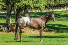 Funny Horses, Appaloosa Horses, Animals And Pets, Cute, Nature, Painting, Pets, Naturaleza, Kawaii