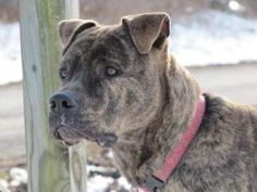 Adoptable Fridays: Meet Spike! Spike is an adoptable Boxer/Pit Bull Terrier mix in Delhi, NY.  Great Dog for Adults!! Prefers a home WITHOUT Cats or Young Children • Shots Current. Find out more about this beautiful boy, Spike! http://www.petfinder.com/petdetail/21684765