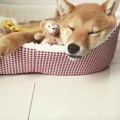Sleepy shiba