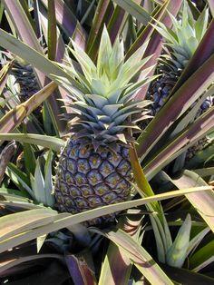 Bromelaina - proteolityczny enzym z ananasa, który może być pomocny na zapalenie stawów, bóle i na goje ran. http://naturalniezdrowy.com.pl/bromelaina-enzym-z-ananasa/