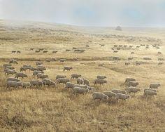 Fine Art Photography Sheep Art Farm by lucysnowephotography, $20.00