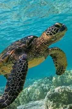 Rising Temperatures In The Great Barrier Reef Are Turning Green Sea Turtles Female, Shocking Study Reveals (VIDEO) Animals And Pets, Funny Animals, Cute Animals, Sea Cow, Life Under The Sea, Turtle Love, Ocean Creatures, Great Barrier Reef, Sea World