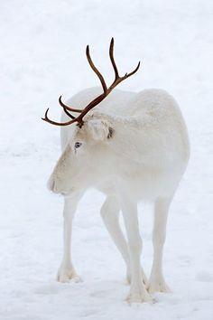 Les plus belles..... albino reindeer