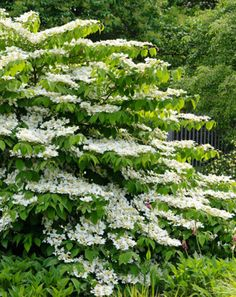 A multi-season beauty, Viburnum plicatum f. tomentosum 'Shasta' (Doublefile Viburnum) is a dense, multi-stemmed, deciduous shrub without equal when it comes to flowering.