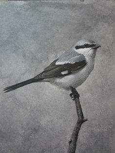 """The Loggerhead Shrike aka """"Butcher Bird""""... as it impales its prey on thorns or barbed wire before eating it, then decorates its impaled victim with feathers and bills in order to attract a mate..."""