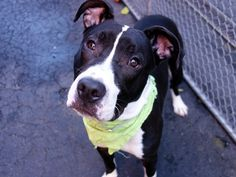 Manhattan Center HOVA – A1055530 MALE, BLACK / WHITE, AM PIT BULL TER MIX, 7 mos OWNER SUR – EVALUATE, NO HOLD Reason PETS CONFL Intake condition EXAM REQ Intake Date10/21/2015, From NY 10458, DueOut Date10/21/2015,