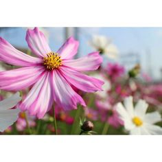 Repost a new photo taken by sh0k0hs! おはようございます 今日も日スタート #コスモス #秋桜#japan #kyoto#flower #igersjp #ig_japan #canon #eosm2 #写真好きな人と繋がりたい#icu_japan #team_jp#flowers #flowerstagram http://ift.tt/1W4aJZT #searchinstagram #instagramsearch http://goo.gl/bH29do - http://ift.tt/1Myc4xw