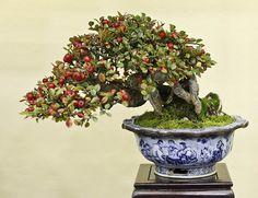 Rock cotoneaster, Cotoneaster horizonatlis