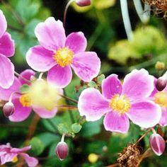 Anemone Windflower - Google Search