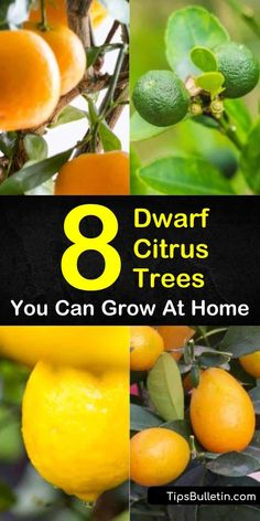 Discover the best dwarf citrus trees to grow in home backyards, indoors in pots, or on the patio. Fill your winter with key limes, mandarin oranges, and lemon fruits as we present you with 8 fantastic dwarf citrus plants and show you how to grow them! Indoor Lemon Tree, Lemon Tree Potted, Lemon Plant, Citrus Trees, Lime Trees, Miniature Fruit Trees, Dwarf Fruit Trees, Fruit Plants, Indoor Fruit Trees