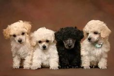 Black Poodle Among White Ones - photos for teaching spatial concepts - Pinned by @PediaStaff – Please Visit ht.ly/63sNt for all our pediatric therapy pins