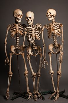 Get a deal when you buy 3 of our realistic skeletons. PVC bones paired with museum quality, lifecast skulls and natural, aged finish makes each skeleton creepy and unique. Human Skeleton Anatomy, Skull Anatomy, Human Body Anatomy, Skeleton Drawings, Skeleton Art, Skull Reference, Anatomy Reference, Anatomy Drawing, Anatomy Art