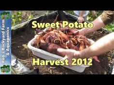 How To Grow 25 Pounds of Sweet Potatoes in a Bucket – REALfarmacy.com