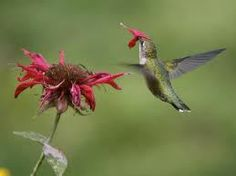 Hummingbird Minds Will Hummingblow Your Mind | Nature-Based Enthusiasm Occasionally Referencing Actual Science