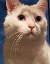 Pet ID A18834354 - Juno - Annex is an adoptable Domestic Short Hair-White Cat in Montreal, QC.  * Humanitarian Adoption =­ More info: http://www.petfinder.com/petdetail/25012875