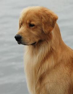 You have never truly felt love until you've felt the love of a Golden Retriever.