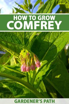 Comfrey is an easy to grow perennial herb with many benefits. It can be used to improve soil health and to attract pollinators to the garden. It can even be made into a topical herbal remedy to soothe inflammation and support healing of injuries. Learn how to grow comfrey now on Gardener's Path. #comfrey #gardenerspath Growing Herbs, Growing Flowers, Planting Flowers, Gardening For Beginners, Gardening Tips, Vegetable Gardening, Potager Garden, Permaculture Garden, Types Of Herbs