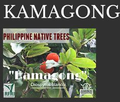 """KAMAGONG (Diospyros blancoi) Commonly known as Mabolo; This tree is also called as the Velvet Apple by other countries. Due to logging for its wood in the Philippines, Kamagong is categorized as Critically Endangered (DENR DAO 2007-1). """"Protect our trees, our forests- our source of life!"""" #PhilippineNativeTrees #NativeTrees #Rainforestation #ForestProtection (The Philippine Native Trees 101 Up Close And Personal, 2013) February 26, 2016 Garden Trees, Trees To Plant, Bike Work Stand, Forest Plants, Fast Growing Trees, Bonsai Art, Wood Tree, Rare Plants, Nature Animals"""